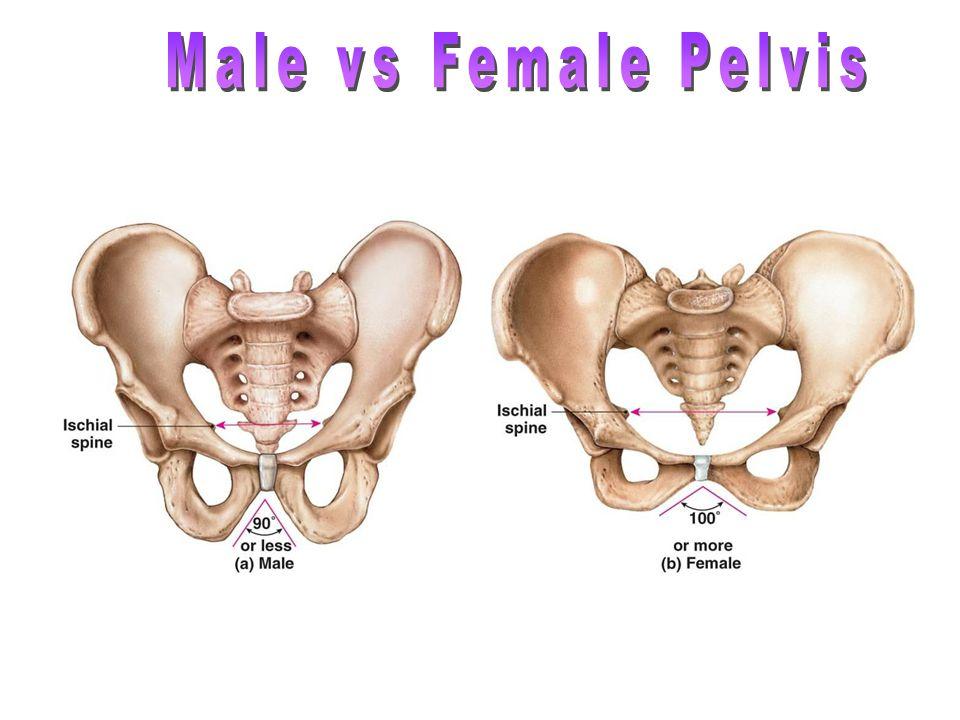 Male pelvis anatomy