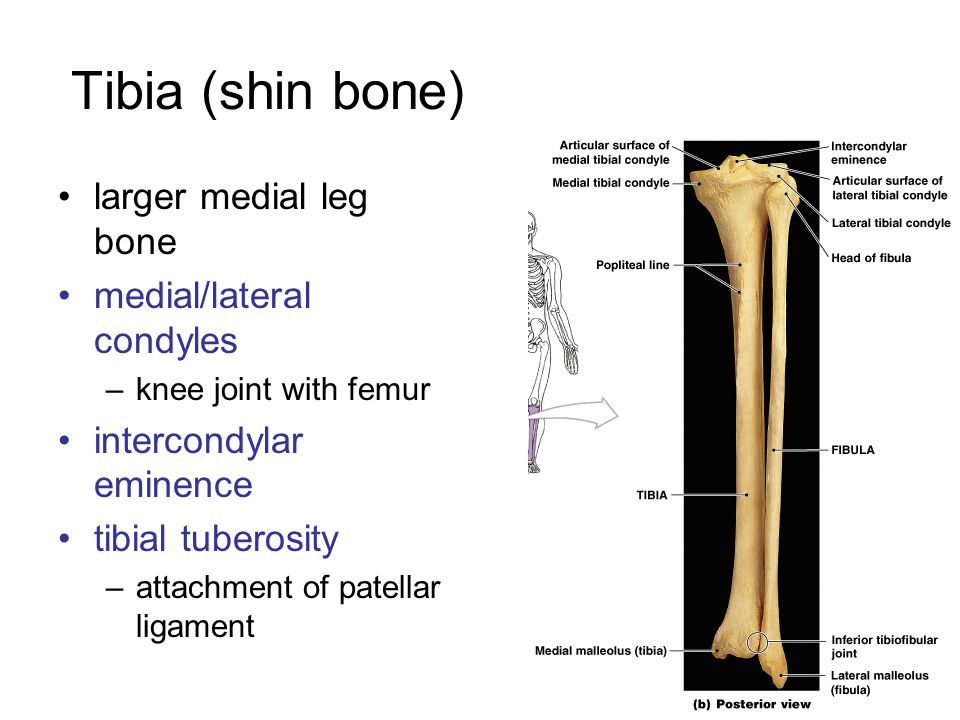 Tibia (shin bone) larger medial leg bone medial/lateral condyles