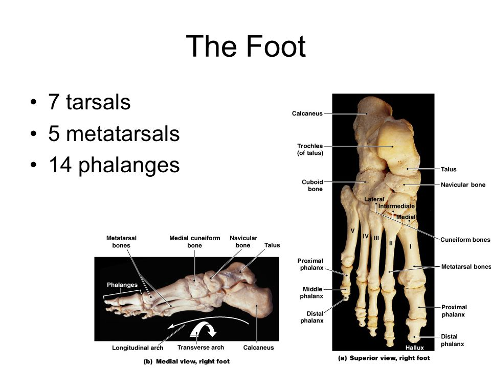 The Foot 7 tarsals 5 metatarsals 14 phalanges