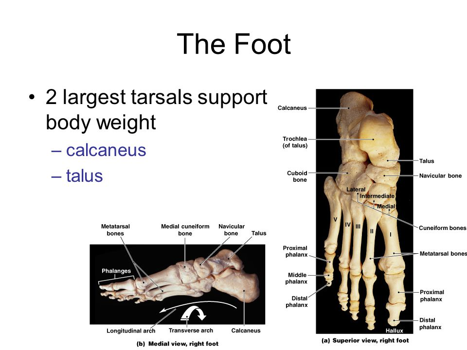 The Foot 2 largest tarsals support body weight calcaneus talus
