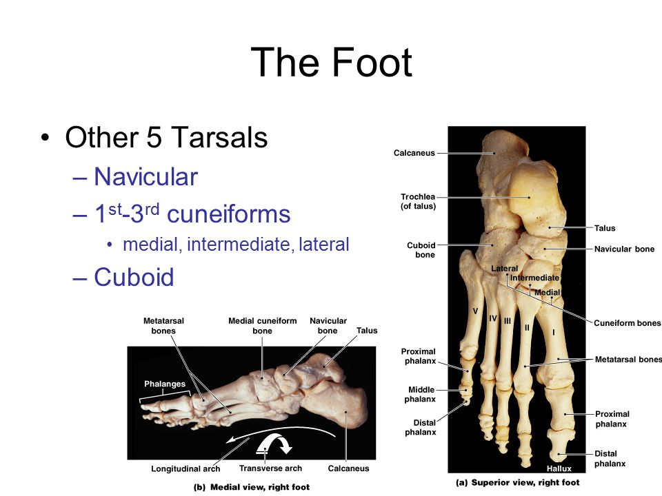 The Foot Other 5 Tarsals Navicular 1st-3rd cuneiforms Cuboid