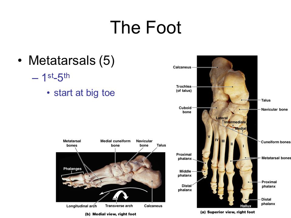The Foot Metatarsals (5) 1st-5th start at big toe