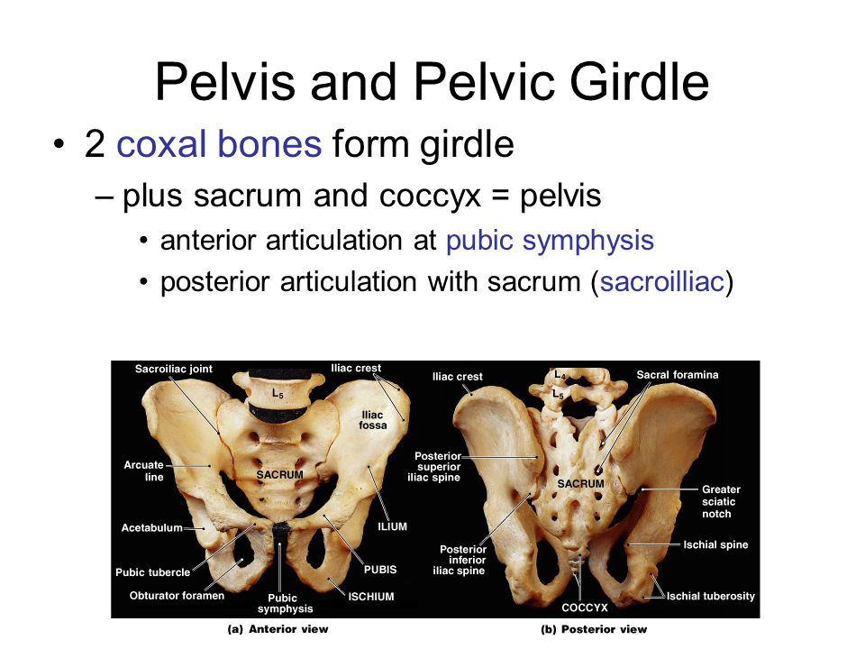 Pelvis and Pelvic Girdle