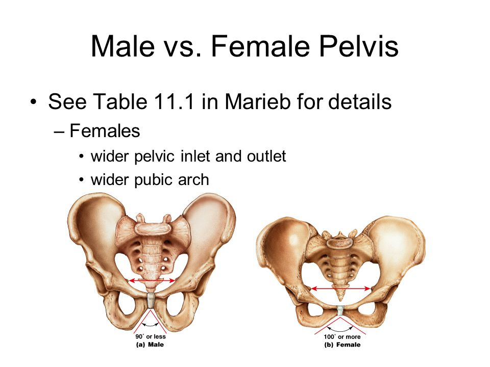 Male vs. Female Pelvis See Table 11.1 in Marieb for details Females