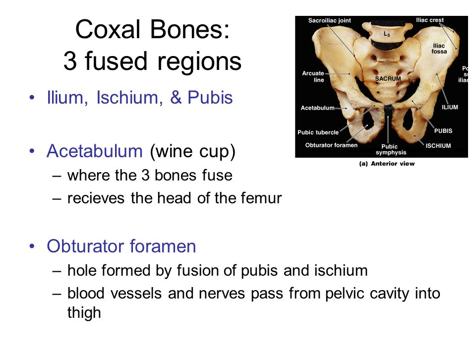 Coxal Bones: 3 fused regions