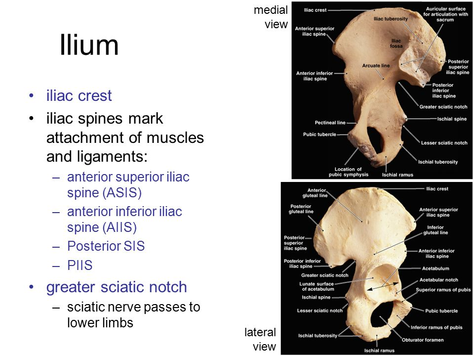 medial view Ilium. iliac crest. iliac spines mark attachment of muscles and ligaments: anterior superior iliac spine (ASIS)