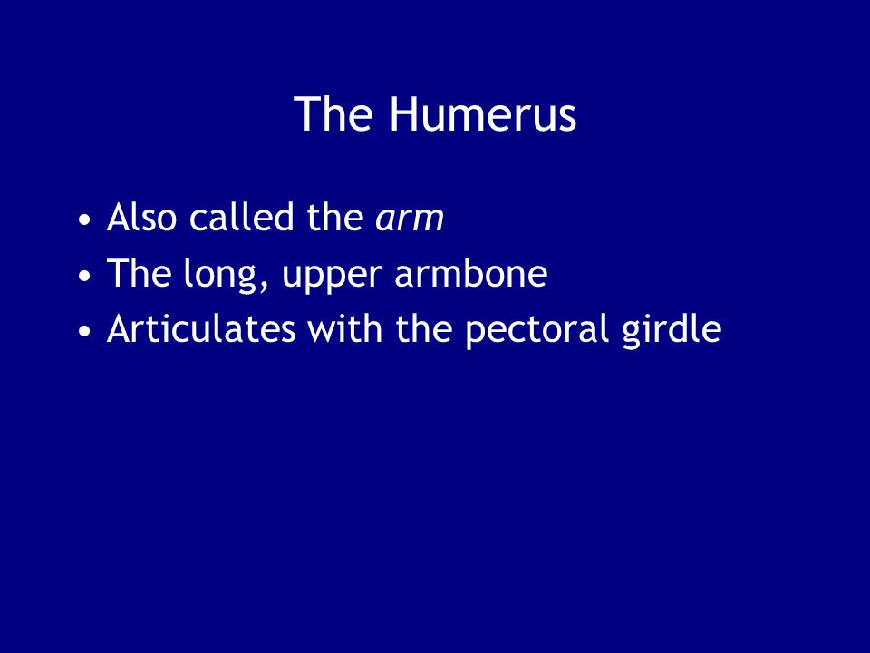 The Humerus Also called the arm The long, upper armbone