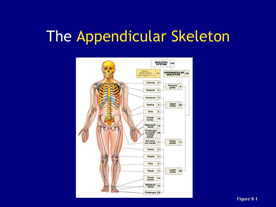 the appendicular skeleton Skeletal system virtual field trip answer key the appendicular skeleton the major bones of the appendicular skeleton include: scapula, clavicle.