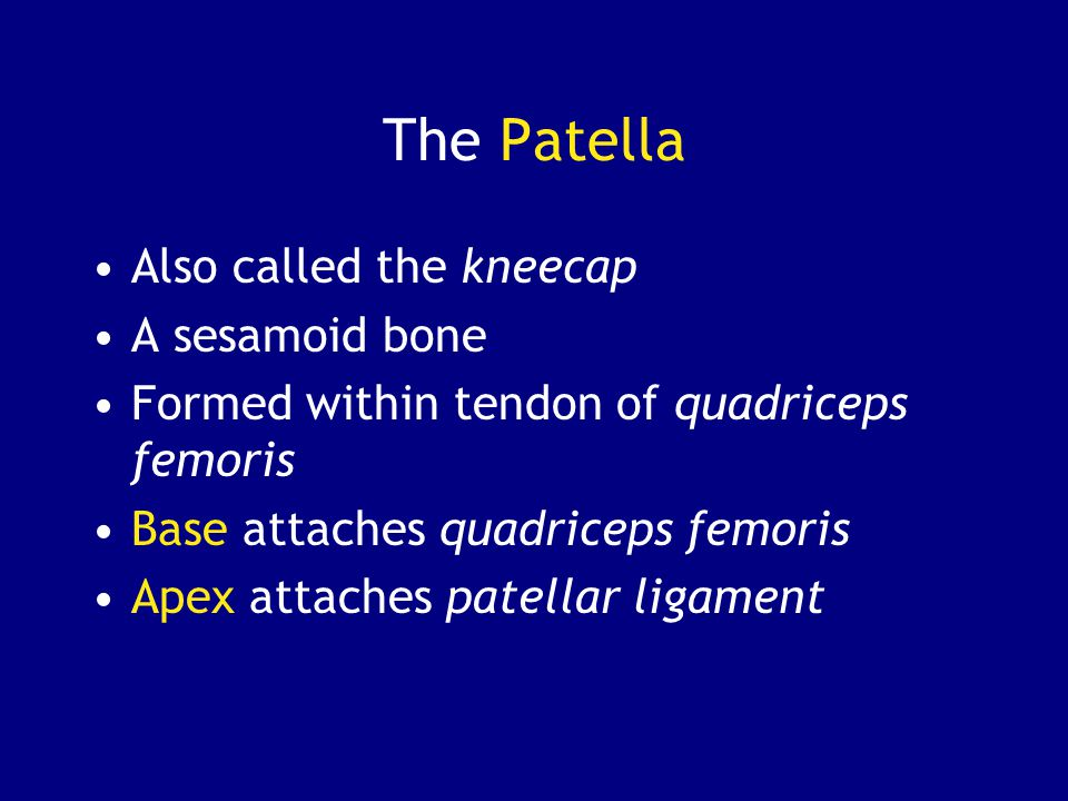 The Patella Also called the kneecap A sesamoid bone