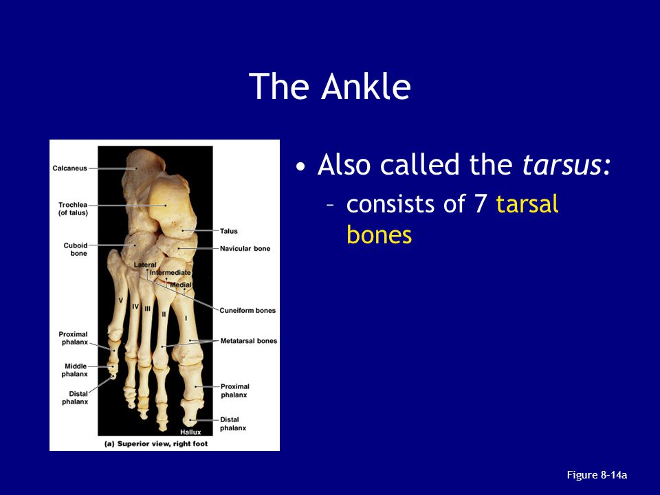 The Ankle Also called the tarsus: consists of 7 tarsal bones
