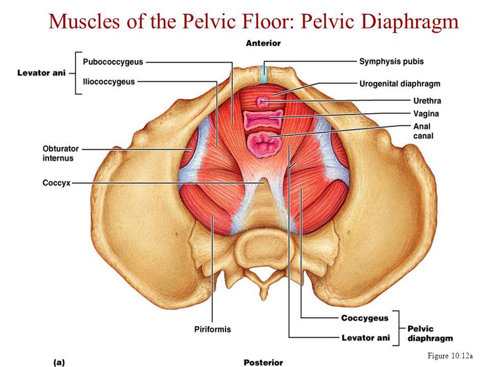 Erfreut Pelvic Floor Muscles Anatomy Zeitgenssisch Menschliche