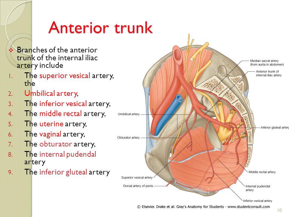 Berhmt Illiac Arterie Zeitgenssisch Menschliche Anatomie Bilder