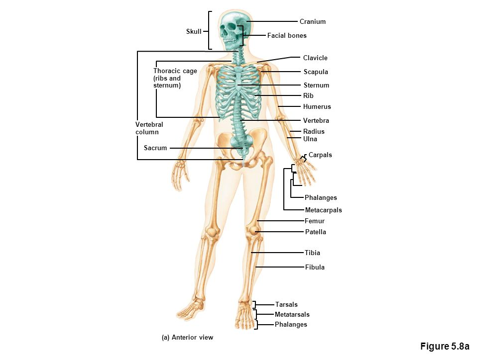 Anatomy Radius And Ulna Image collections - human body anatomy