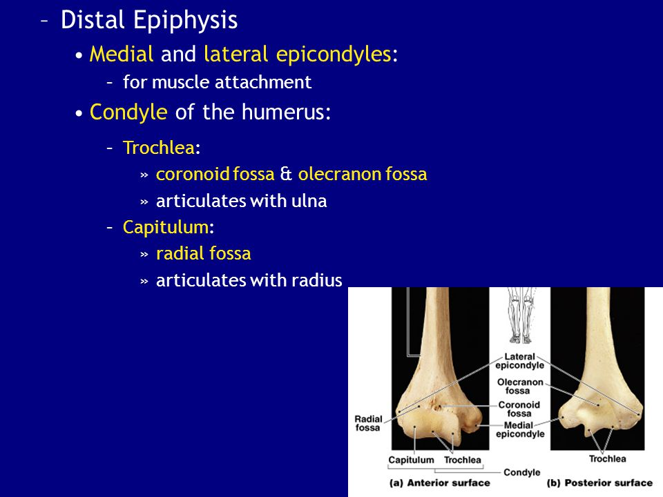 Distal Epiphysis Medial and lateral epicondyles: