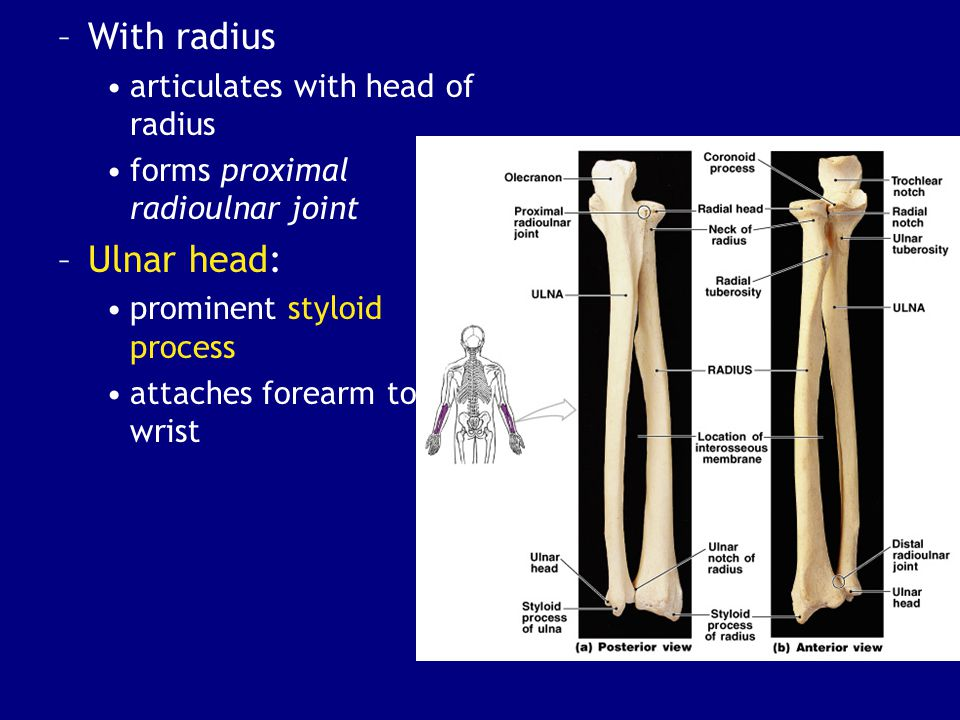 With radius Ulnar head: articulates with head of radius