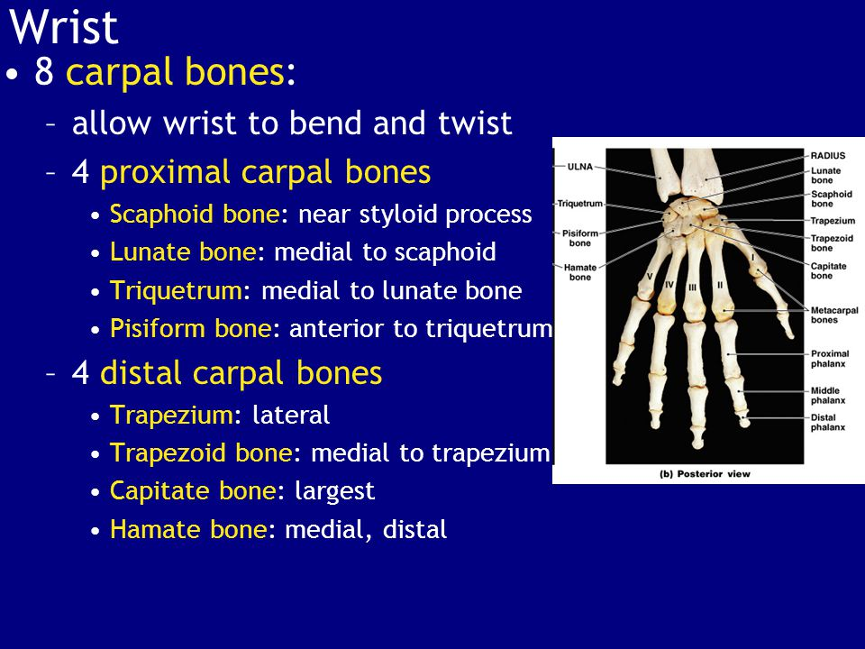 Wrist 8 carpal bones: allow wrist to bend and twist