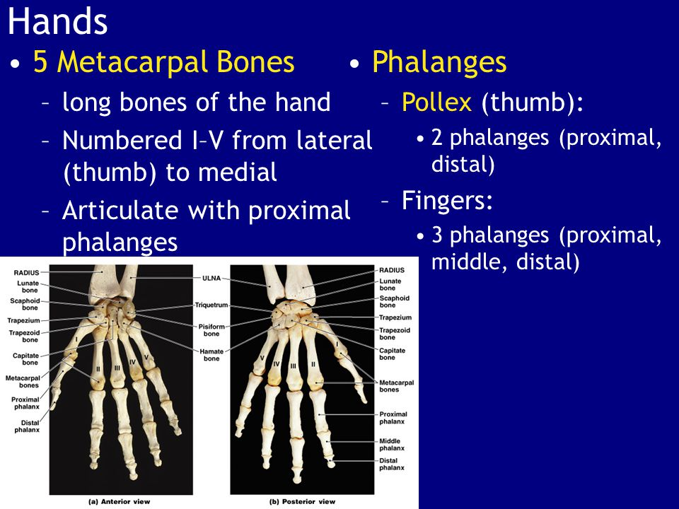 Hands 5 Metacarpal Bones Phalanges long bones of the hand