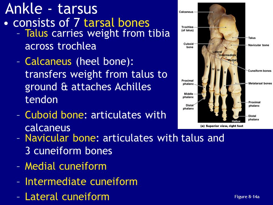 Ankle - tarsus consists of 7 tarsal bones