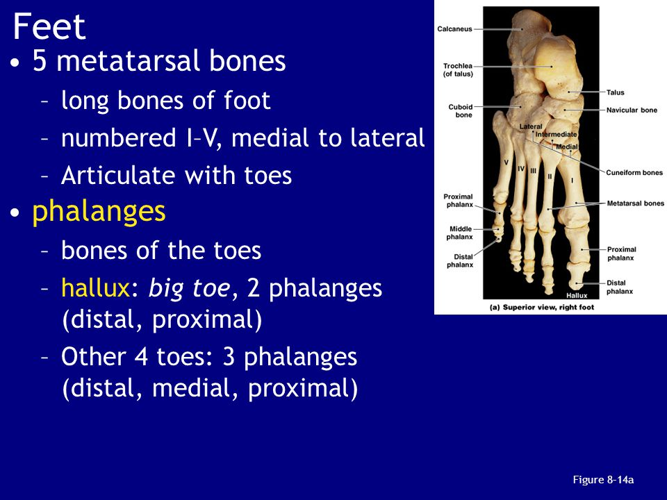 Feet 5 metatarsal bones phalanges long bones of foot