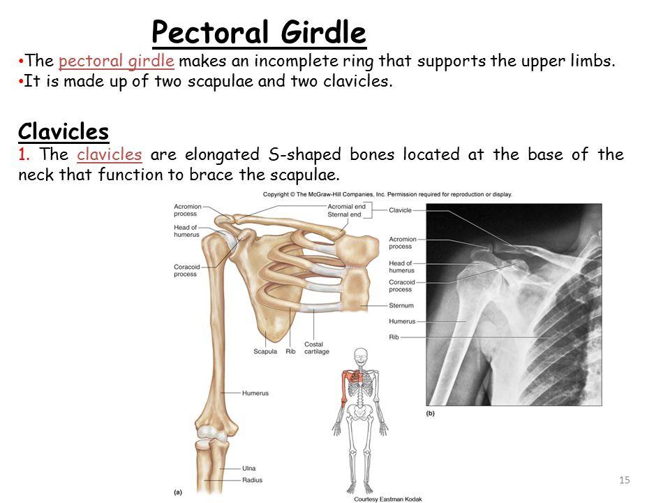 What Bones Form The Shoulder Girdle Gungozq Eye