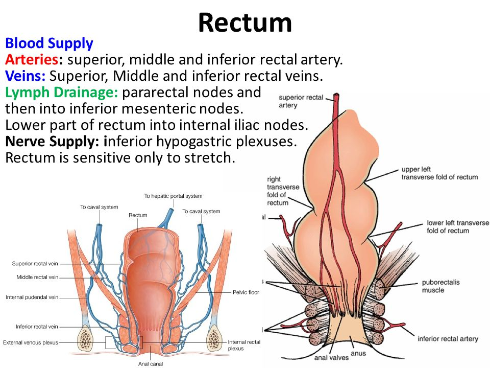 Pelvis & Perineum Unit Lecture 2 د. حيدر جليل الأعسم - ppt ...