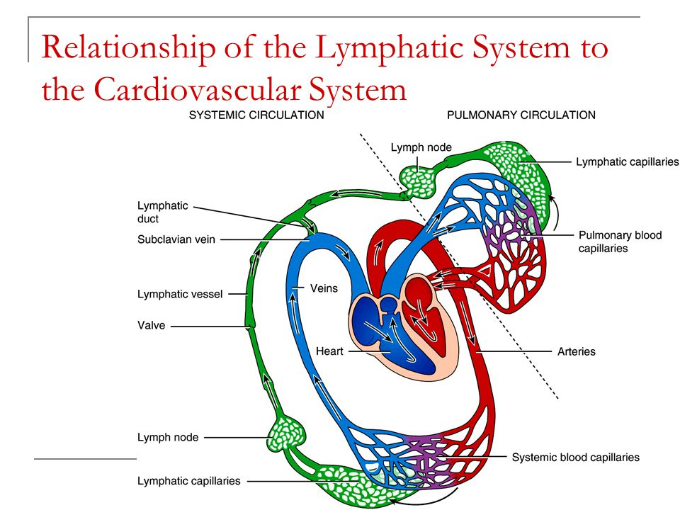 the circulatory system and the lymphatic system essay This free health essay on essay: the cardiovascular system is perfect for health  students to use as an example.