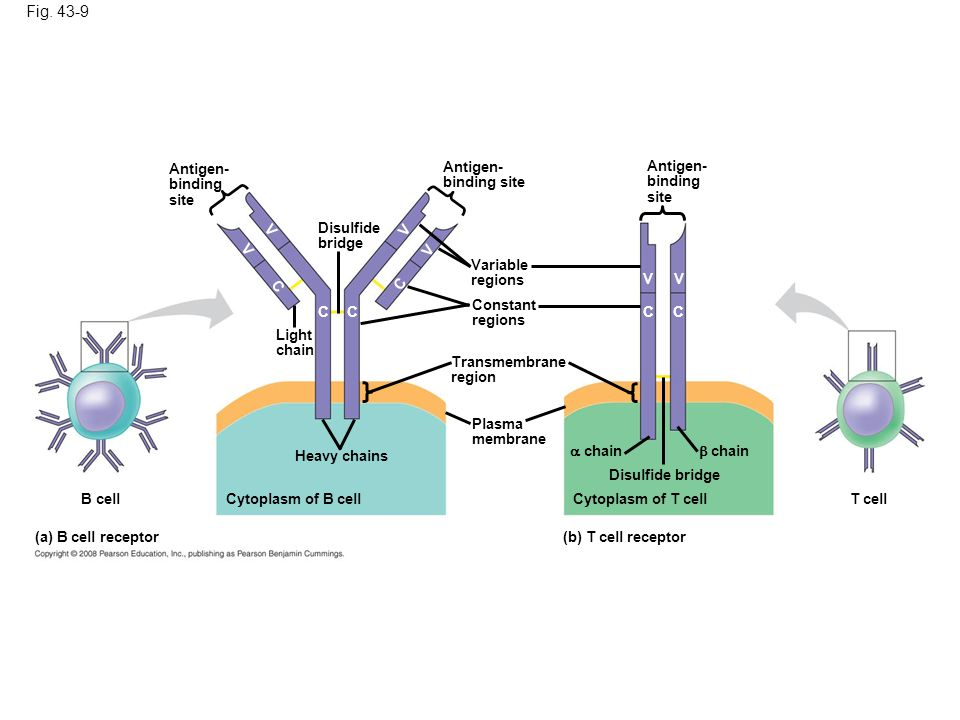 Figure 43.9 Antigen receptors on lymphocytes