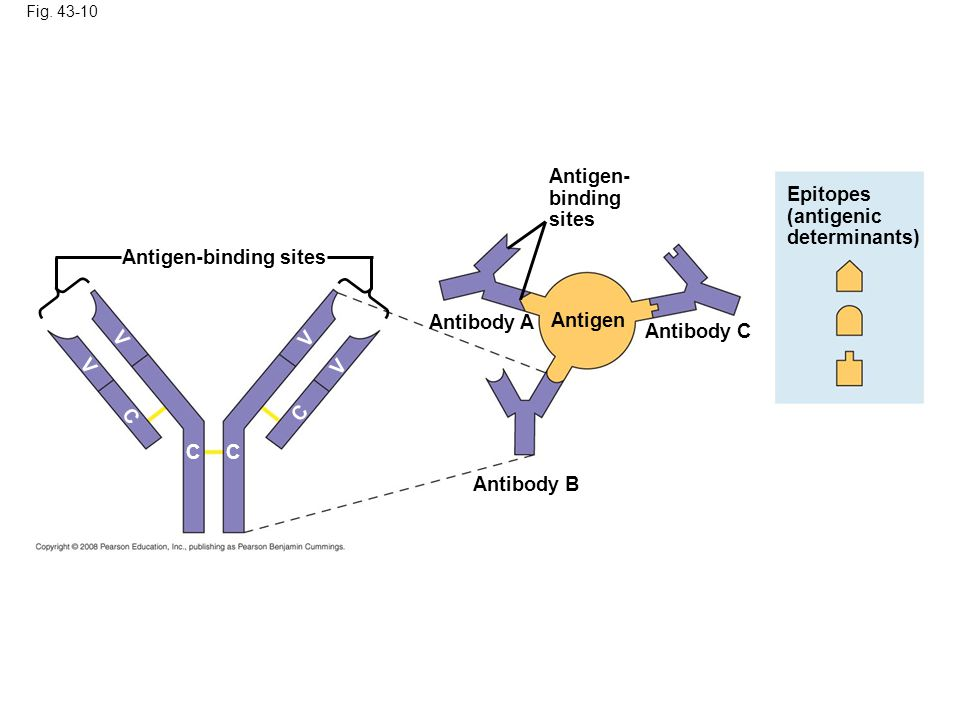 Antigen-binding sites