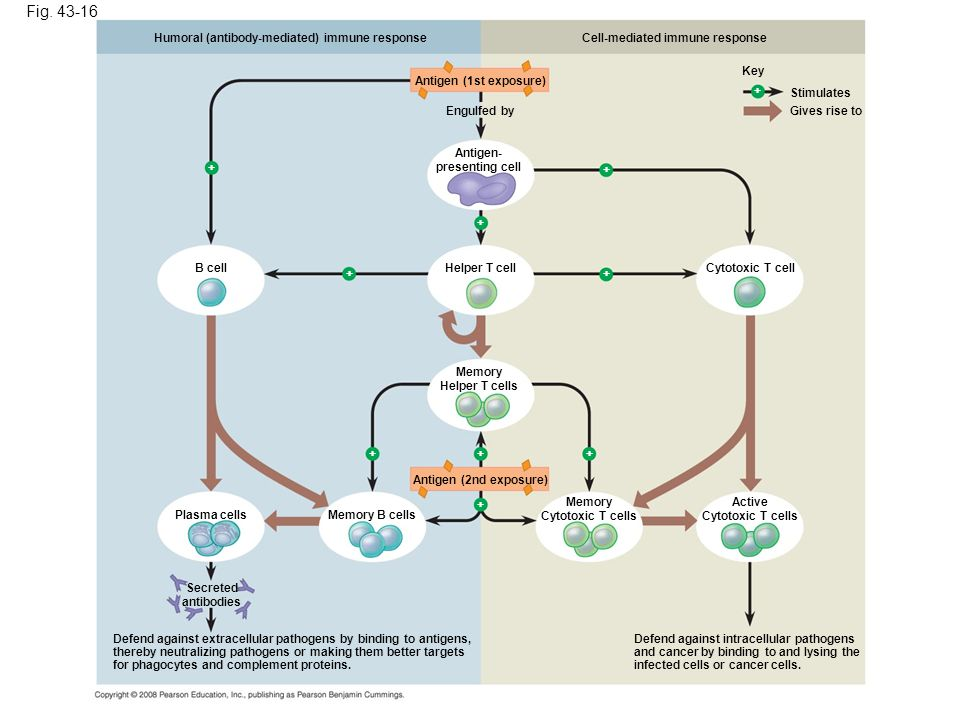 Figure An overview of the acquired immune response