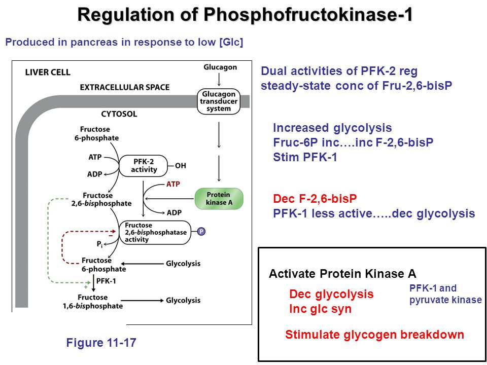 Chapter 12: Gluconeogenesis, Pentose Phosphate Pathway, & - ppt video online download