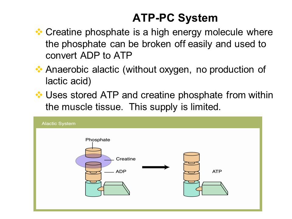 atp pc system This article offers information on the three bioenergetic systems - the atp-pc system, the glycolytic system, and the oxidative system - and how to train them.