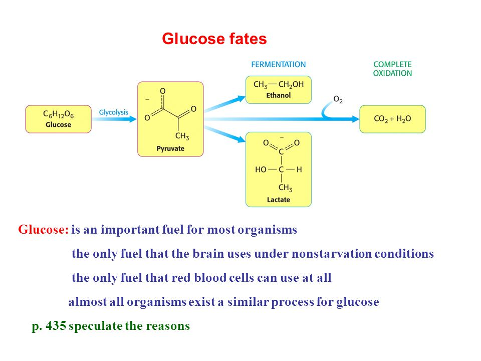 chapter 16 glycolysis Chapter 16 citric acid cycle now will get the rest of the e out of pyruvate by completely oxidizing to co2 and h2o aerobic phase called respiration.