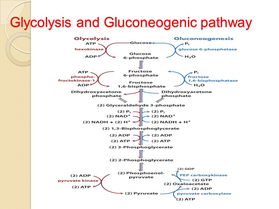 Gluconeogenesis Pathway Pictures to Pin on Pinterest ...