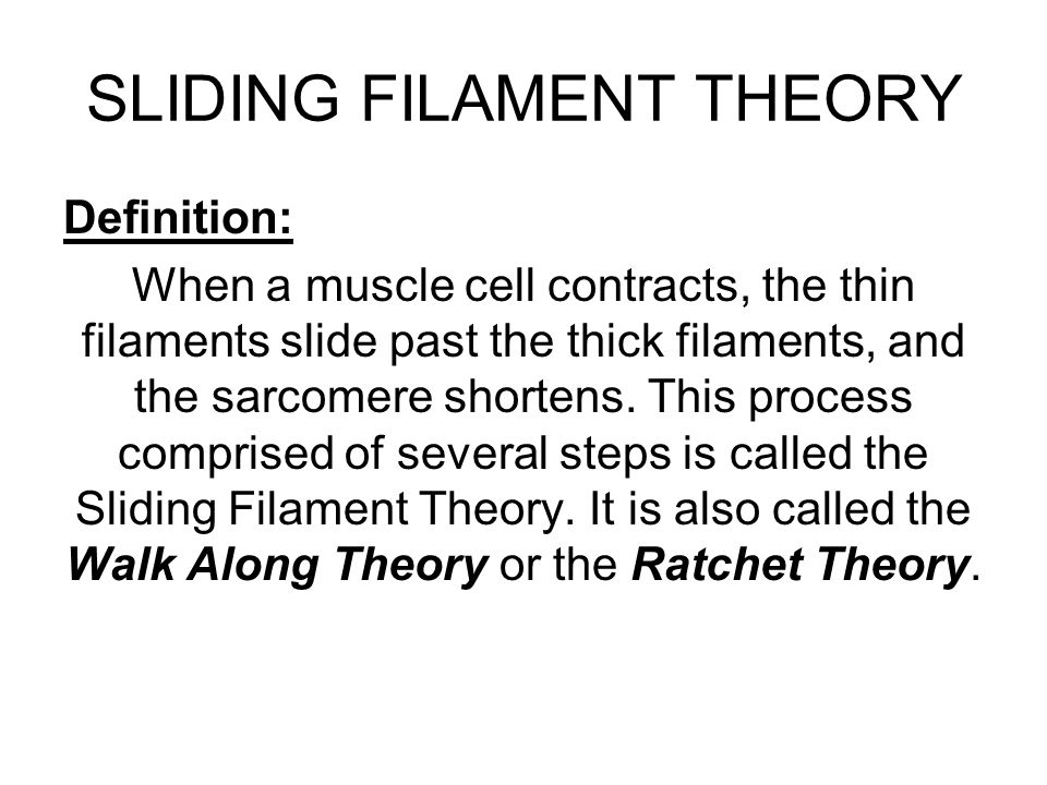 the sliding filament theory There are two main muscle filaments in muscle fibres: actin and myosin filamentsactin filaments are thin and have binding sites for the globular heads of myosin filaments myosin filaments are thick and formed of a fibrous tail and globular head.