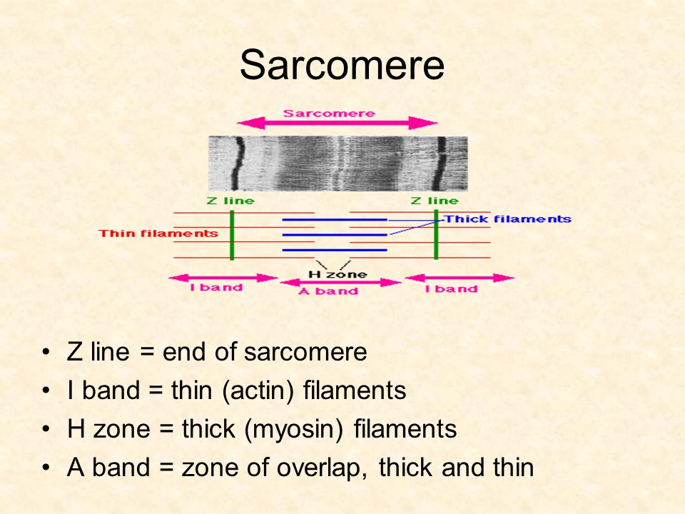 Sarcomere Z line = end of sarcomere I band = thin (actin) filaments
