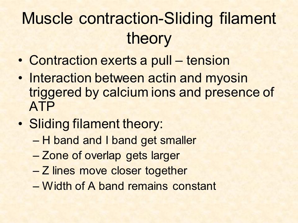 Muscle contraction-Sliding filament theory