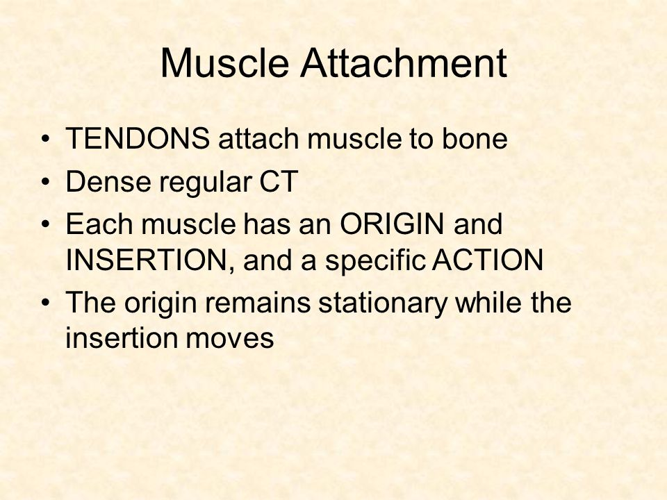 Muscle Attachment TENDONS attach muscle to bone Dense regular CT
