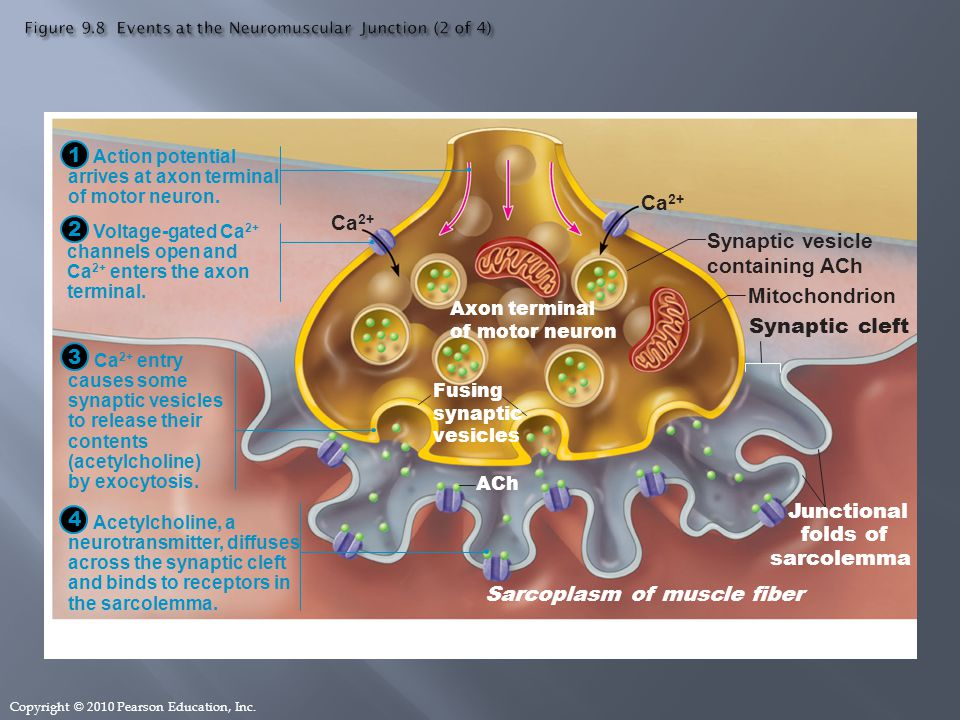 Exocytosis and the neuromuscular junction