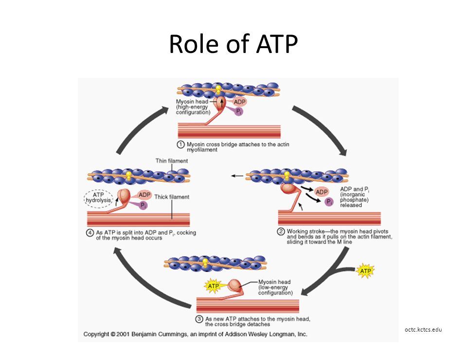 role of atp in metabolism Anabolism requires energy from adenosine triphosphate (atp) metabolism is defined as the sum of all physical and chemical changes that take place within an organism all energy and material transformations that occur within living cells.