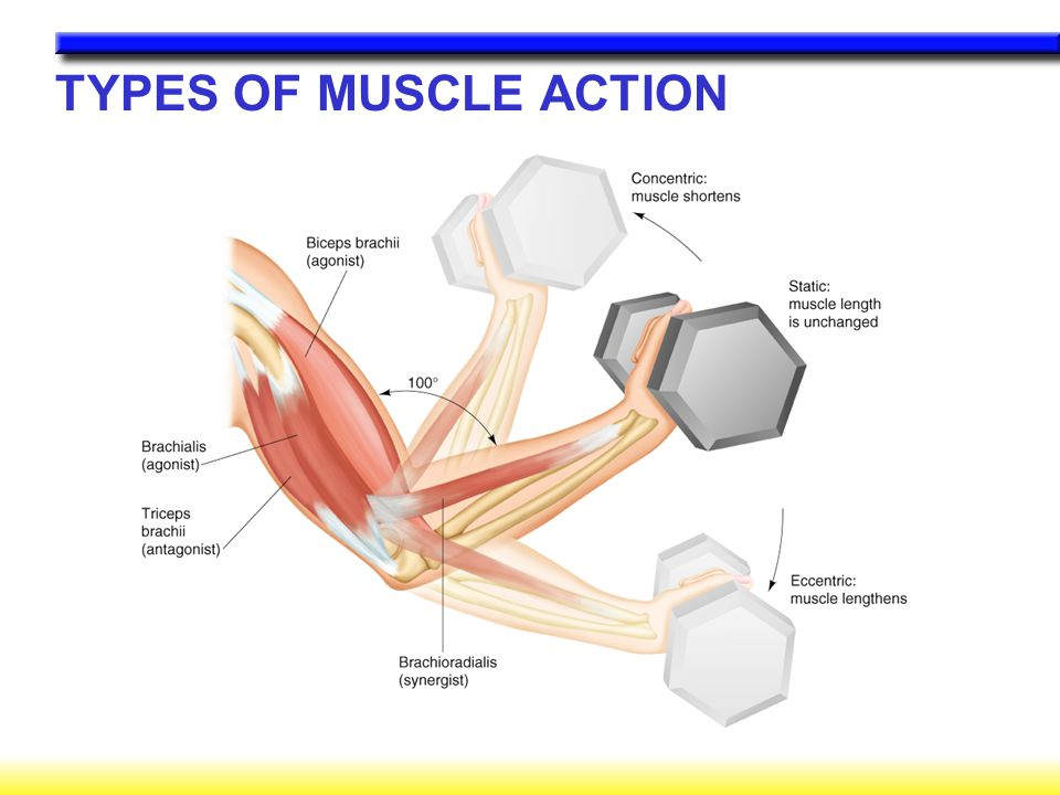 Chapter 1 Structure And Function Of Exercising Muscle Ppt Video