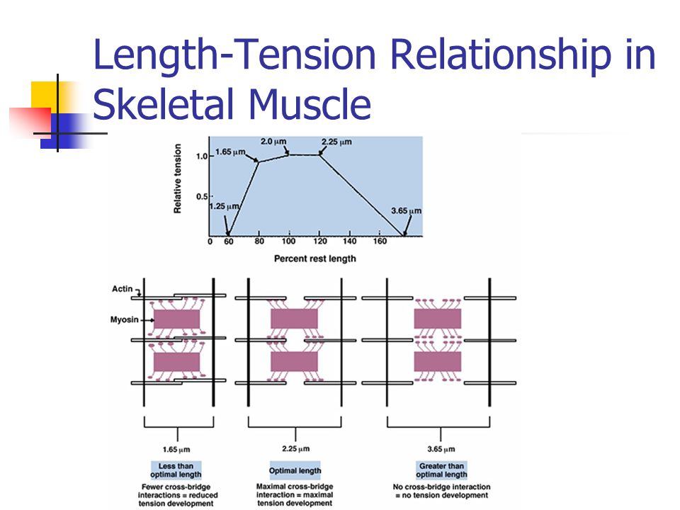 length tension relationship of the skeletal muscle frog (a) isometric length–tension relationship one of the most fundamental properties of skeletal muscle is that the amount of force it generates depends on its length.