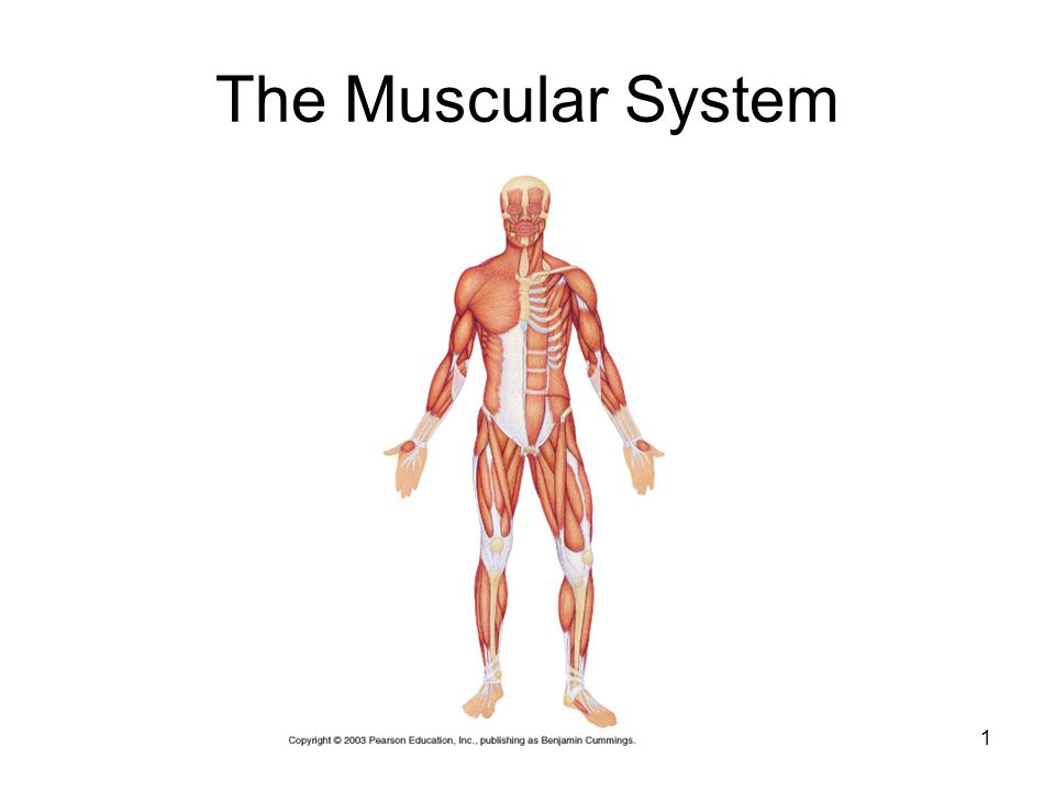 muscular system powerpoint - Vatoz.atozdevelopment.co