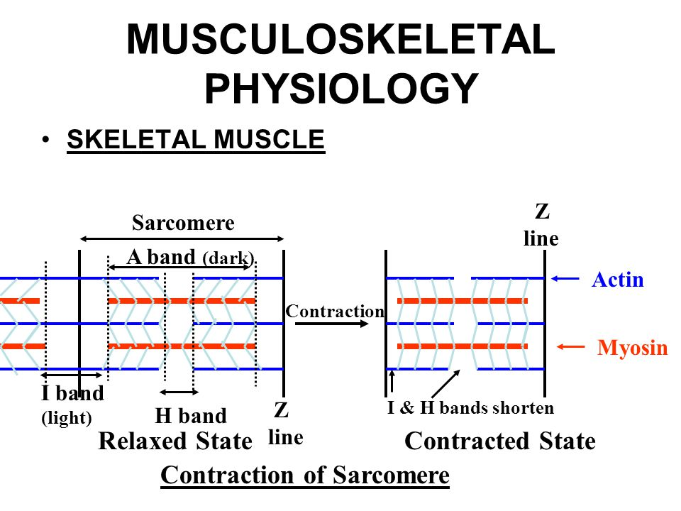 muskosceletal physiology essay  seminar 1 option 2 elizabeth boatfield introduction to anatomy and physiology sc121 instructor: eric d steelman, dhsc(c), mph, ms, rlatg a course assignment presented to kaplan university in partial fulfillment of the requirements for the sc121 curriculum september 4, 2014 anatomy and physiology are studied together but differ.