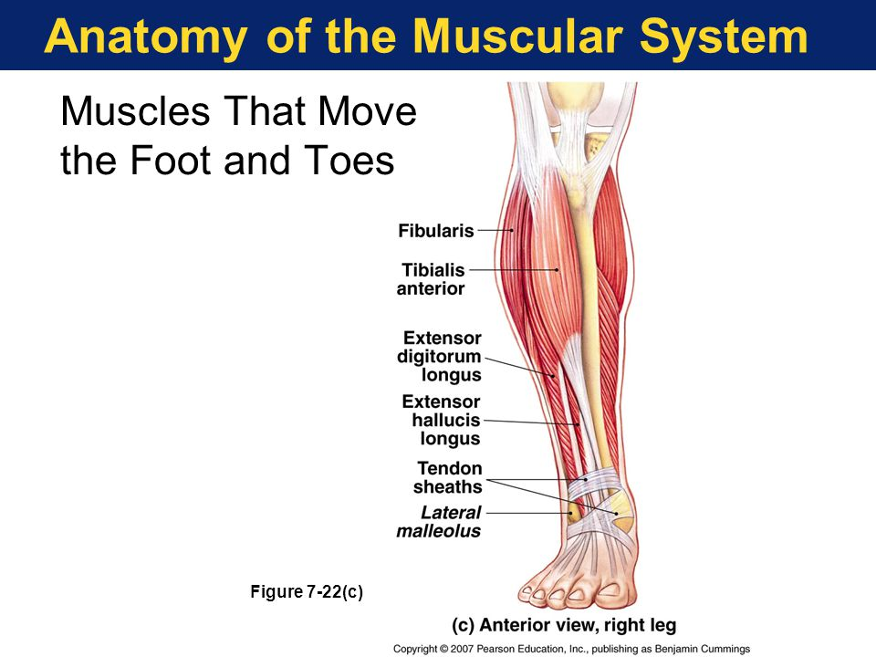 The structure of skeletal muscle biology essay Custom paper Writing ...