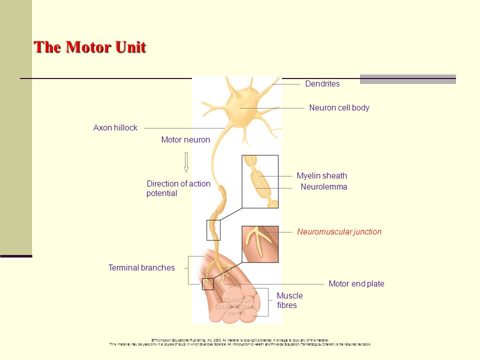 The Motor Unit Dendrites Neuron cell body Axon hillock Motor neuron