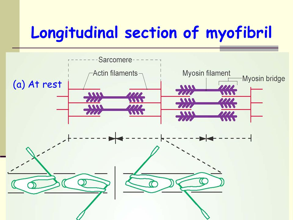 Longitudinal section of myofibril
