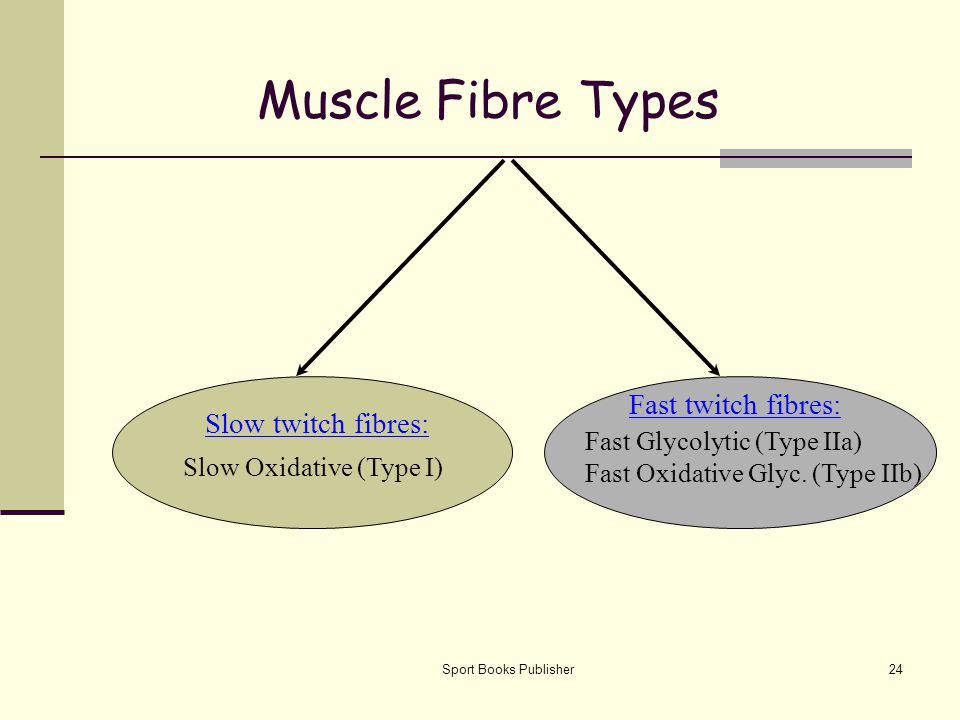 Muscle Fibre Types Fast twitch fibres: Slow twitch fibres: