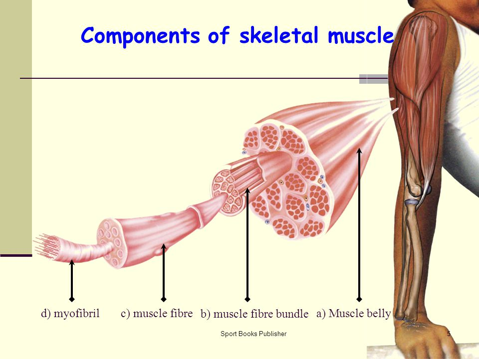 Components of skeletal muscle