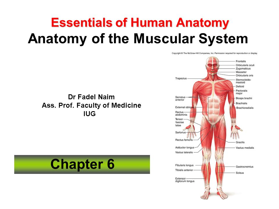 Essentials of Human Anatomy Anatomy of the Muscular System - ppt ...