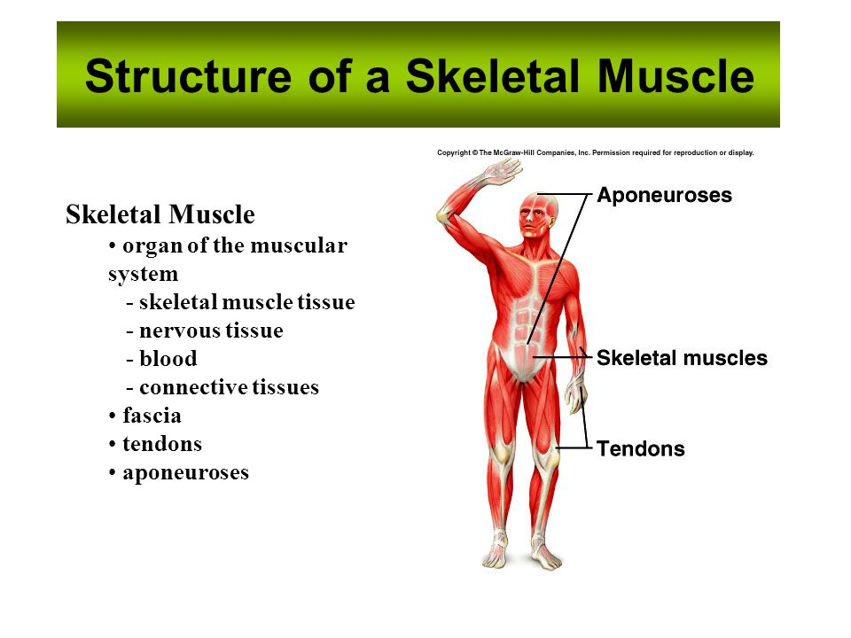 essentials of human anatomy anatomy of the muscular system - ppt,